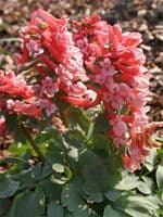 Corydalis Ruksans Red